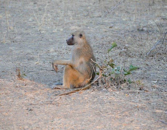 Baboon in South Luangwa