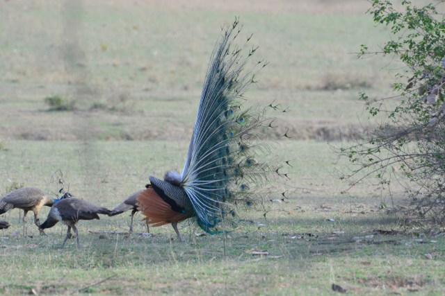 peacock mating ritual