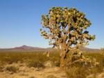 Joshua Tree in the Mojave desert, USA