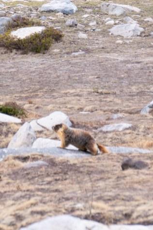 Marmot at Pika Lake