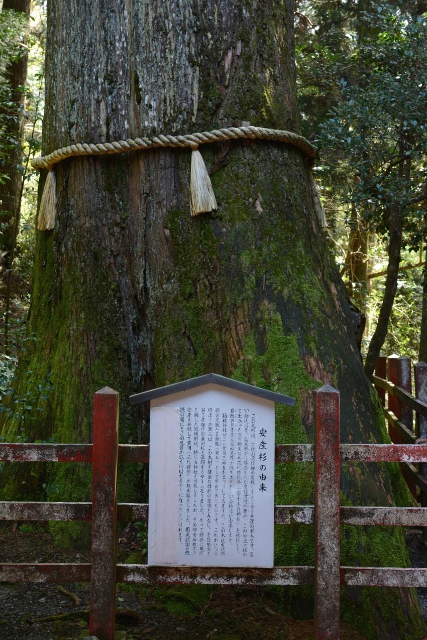 sacred tree at Hakone Shrine