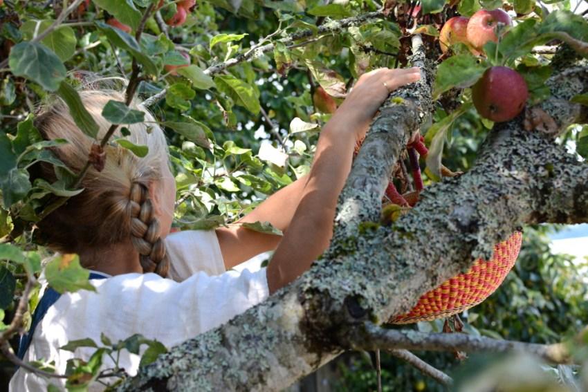 picking apples for apple cake