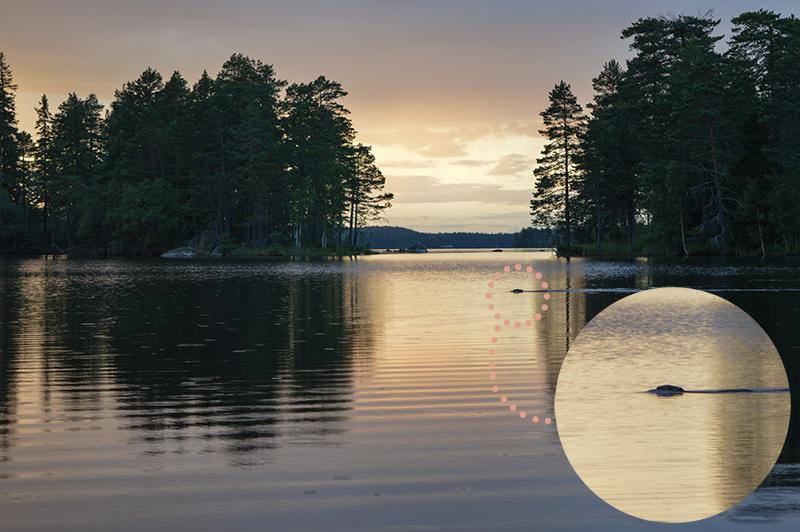Met de kano op beversafari in Dalarna - zwemmende bever collage