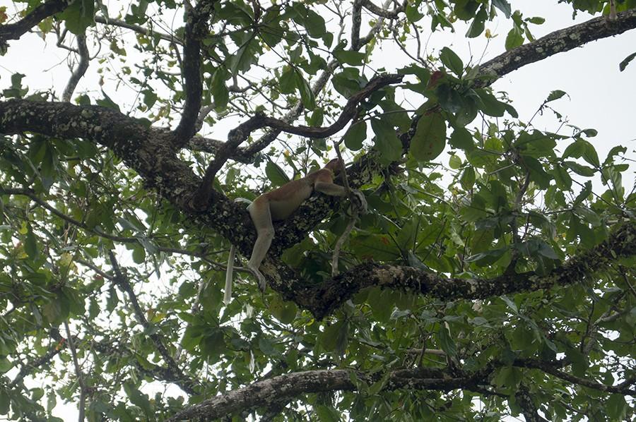 Neusaap- spot deze bedreigde diersoort in het wild