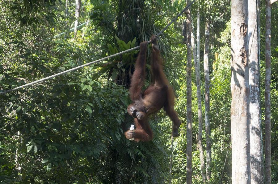 Orang-oetans bekijken op Borneo - foto 2