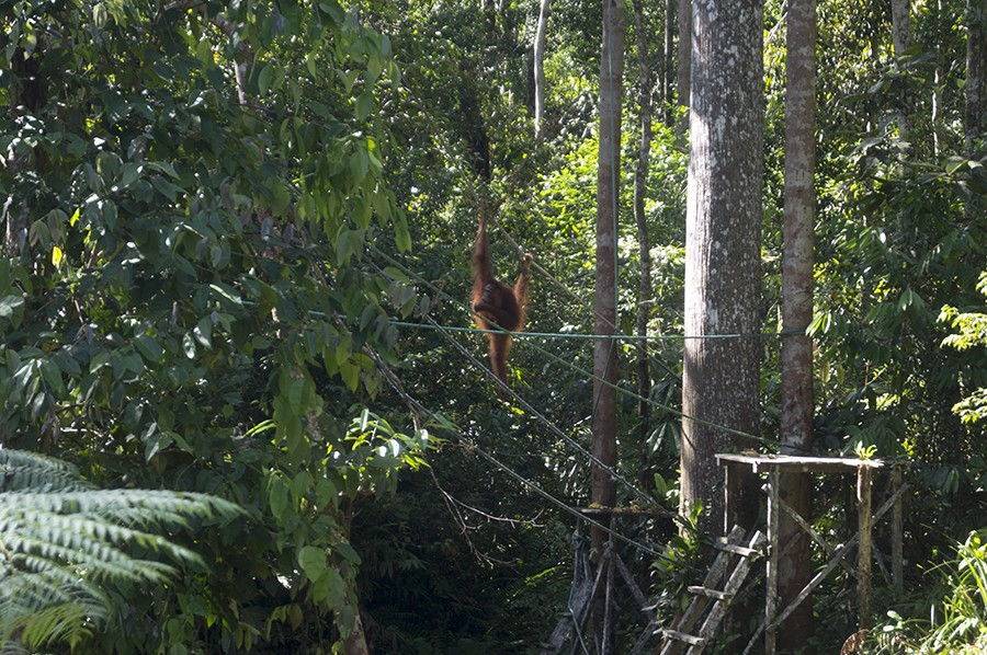 Orang-oetans bekijken op Borneo