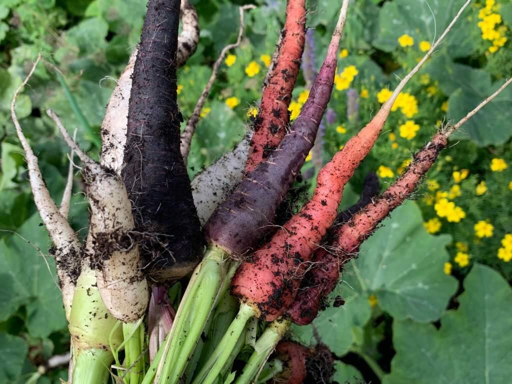 Hjemmedyrket gulerødder