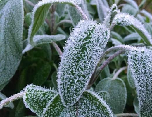 frost i køkkenhaven