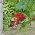 Grapes on vines in the Similkameen