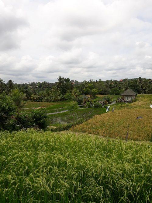 Arrozal Ubud Indonesia