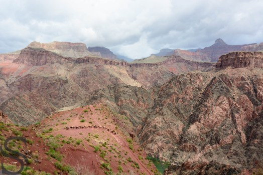 Mules ascending up on South Kaibab Trail with loads on their back, Grand Canyon, AZ