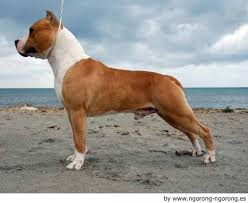 american staffordshire terrier 3
