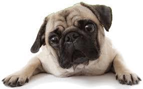raza de perro carlino
