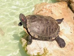 tortuga de tierra 3