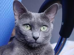gato azul 3