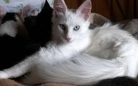 gato de angora 2
