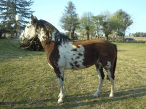 caballo-pampa2