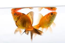 peces-dorados-o-goldfish-3