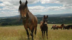 caballo gallego