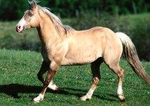 caballo palomino
