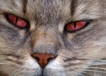 ojos rojos de los gatos