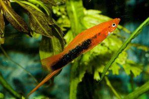 peces cola de espada