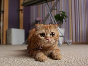 gato scottish fold2
