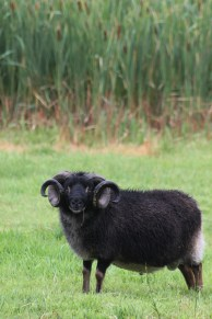 Sheep Ridge Caesar