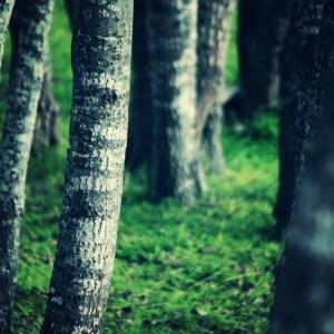ancient poplars, sondagskloof