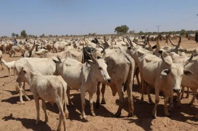 Gombe Government To Vaccinate Over 1 Million Cattle