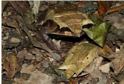 Malayan Leaf Frog Aka Long-Nosed Horned Frog: World's Most Camouflaged Frog