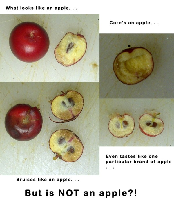 What looks, cores, bruises, and tastes like an apple but is NOT an apple?!