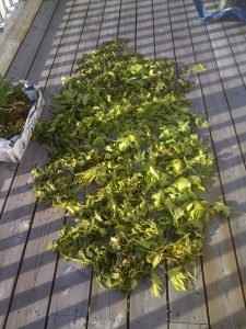 Lovage leaves drying on the deck