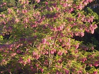 Songdove Books - Flowering Tree in Spring