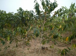Songdove Books - Rwandan coffee plant