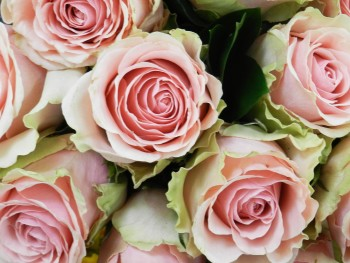 Songdove Books - Pink Roses