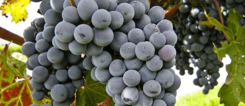 Songdove Books - Grape Vine