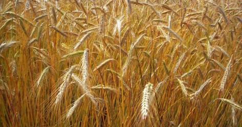 standing grain