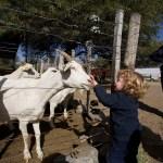 Chèvrerie à Cafayate