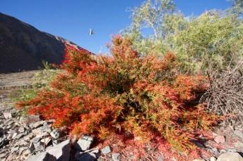 PURMAMARCA / Buisson aux fleurs butinées par un oiseau mouche