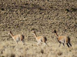 HUMAHUACA / Vigognes sur le cerro Hornocal