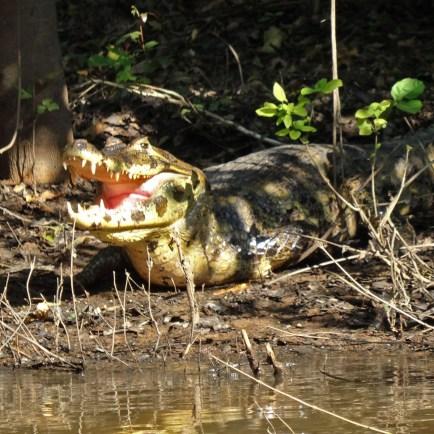 PN MADIDI / Dans les marais de la pampa : un alligator !