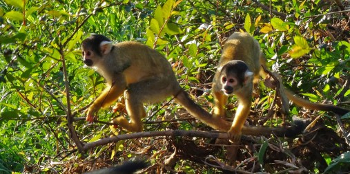 PN MADIDI / Dans les marais de la pampa : un petit groupe de chichilos se rapprochent de nous. Adorable !
