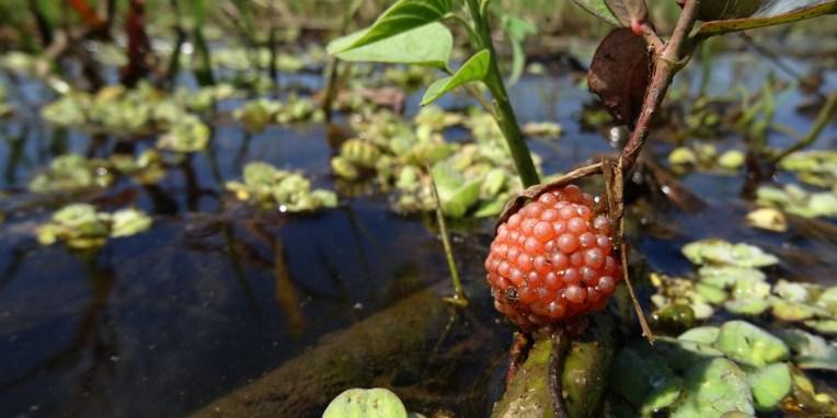 PN MADIDI / Dans les marais de la pampa : huevos de aranas (oeufs d'araignée)