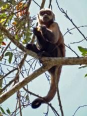 PN MADIDI / Dans la pampa : un mono sylvador se régale des fruits de l'arbre situé juste au dessus de notre chambre