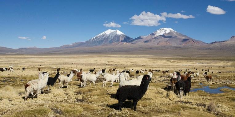 PN SAJAMA / Ce PN jouxte la frontière chilienne et réserve des vues imprenables sur les hauts plateaux, des champs de geysers, des sources thermales, la plus haute forêt du monde, et une belle balades jusqu'à des lacs d'altitudes situés au Chili