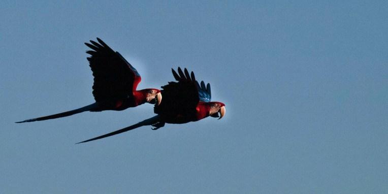 PN MADIDI / Dans la selva (jungle) : vol d'un couple de paracas barba rojo (©Voelzer)