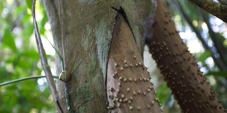 PN MADIDI / Racines de l'arbre qui marche