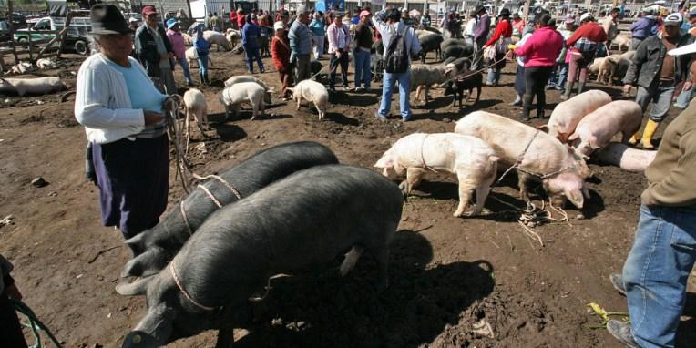 SAQUISILI / Nous voilà dans le coin des cochons