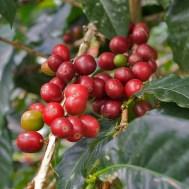 SAN AGUSTIN / Visite d'une finca de café : les fruits ont une pulpe sucrée.